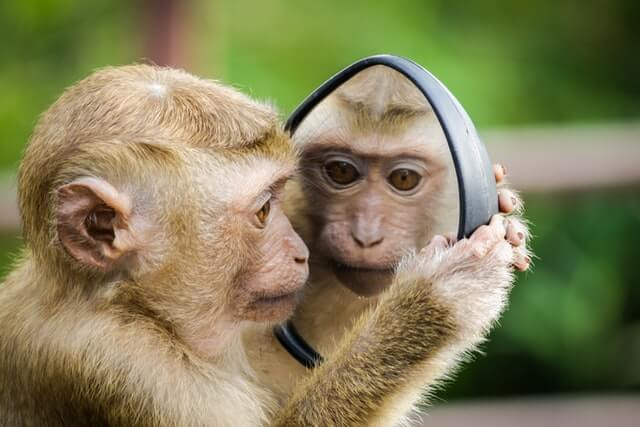 A monkey holding a small mirror